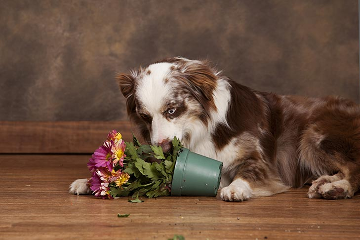 Australian Shepherd lying next to a knocked over flower pot.